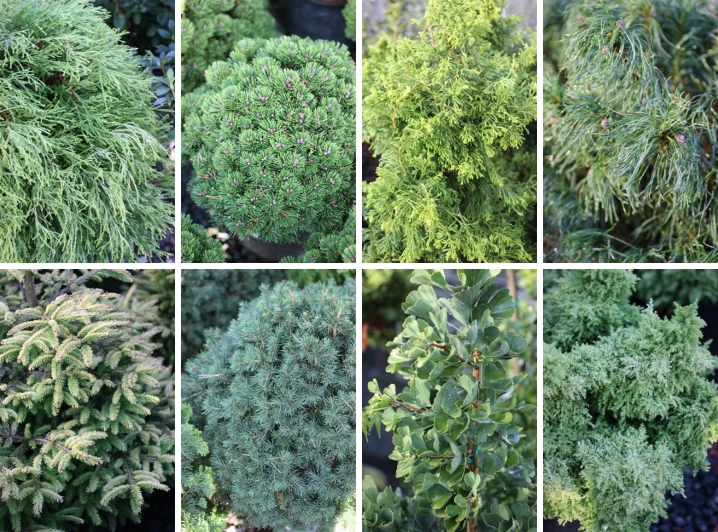 Rare And Unique Conifers From Iseli Nursery Of Oregon